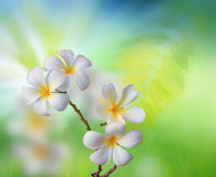 White frangipani flower with green nature  Stock Photo