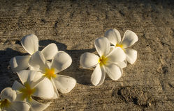 White Frangipani flower on the ground Royalty Free Stock Photo