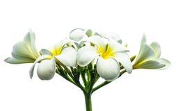 White frangipani flower Stock Photo