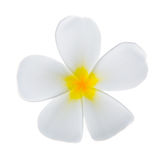White frangipani Stock Images