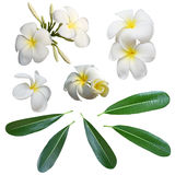 White Frangipani flower and leaves isolated  background Royalty Free Stock Photography