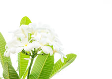 White frangipani flower Royalty Free Stock Image