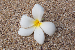 White frangipani flower on pebble texture. White plumeria flower Stock Photo