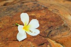 White frangipani flower on the stone Stock Images