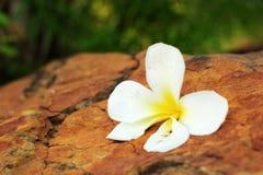 White frangipani flower on the stone Royalty Free Stock Images
