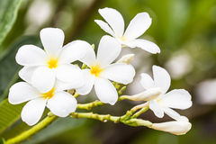 White frangipani flower in Thailand Stock Photography