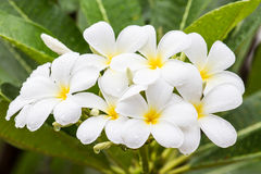 White frangipani flower in Thailand. White frangipani and green leaves on tree Stock Photography
