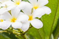 White frangipani flower in Thailand. White frangipani and green leaves on tree Royalty Free Stock Photo