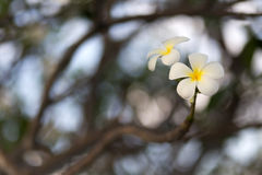 White Frangipani flower Royalty Free Stock Images
