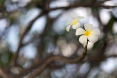 White Frangipani flower Royalty Free Stock Images