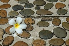 White Frangipani flower on wet stone footpath to spa stock image