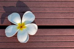 White Frangipani Flower in Wood Texture Background stock photo