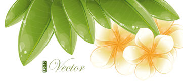 White frangipani flowers Stock Photo