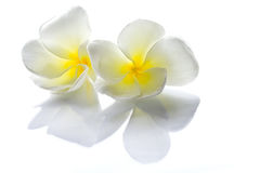 White Frangipani flowers. Frangipani flowers white with a reflection on a flat surface and a light background Stock Photos