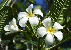 White Frangipani flowers. White Frangipani (Plumeria) flowers against the backdrop of green foliage Royalty Free Stock Photo