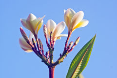 White Frangipani flowers. Silhouetted against the blue sky background with  White frangipani , exceptionally bright Royalty Free Stock Images