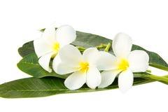White frangipani flowers. On white background Stock Photos