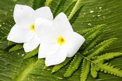 White frangipani flowers on a banana leaf and fern leaves Stock Photos
