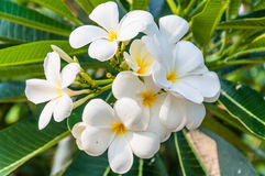 White frangipani flowers Royalty Free Stock Images