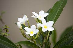 White frangipani flowers on blanch. And blurry background royalty free stock photos