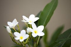 White frangipani flowers on blanch. And blurry background stock image