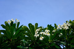 White frangipani flowers with blue sky background Royalty Free Stock Image