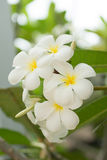 White Frangipani flowers Stock Photography