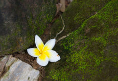 White Frangipani flowers fall on the floor. stock photography