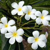 White frangipani flowers Royalty Free Stock Photo