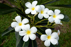 White frangipani flowers Stock Image