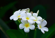 White frangipani flowers the garden Royalty Free Stock Photography