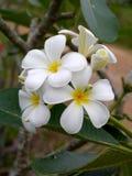 White Frangipani flowers. Royalty Free Stock Image