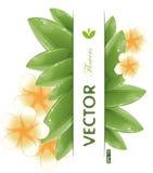 White frangipani flowers Stock Images