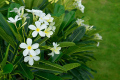 White frangipani flowers with leaves background Stock Photography