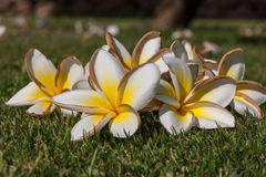 White frangipani flowers with leaves Stock Photos