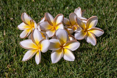 White frangipani flowers with leaves Stock Image