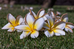 White frangipani flowers with leaves Stock Photography