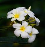 White frangipani flowers Stock Image