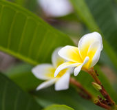 White frangipani flowers. tropical flowers the beautiful. Royalty Free Stock Photography
