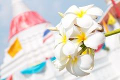 White frangipani flowers Royalty Free Stock Images