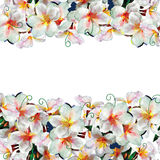 White Frangipani Frame Isolated On White Background. White Frangipani strip Frame Isolated On White Background royalty free illustration
