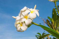 White frangipani. And green leaf Royalty Free Stock Photos
