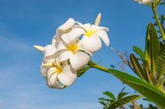 White frangipani Royalty Free Stock Photos
