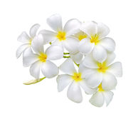 White frangipani plumeria flower with water drops isolated Stock Images