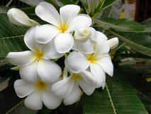 White Frangipani/Plumeria Flower. White and Yellow Frangipani or Plumeria Flower Stock Images