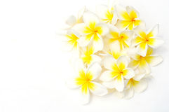 White Frangipani (Plumeria) flowers Royalty Free Stock Photos