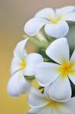 White Frangipani (Plumeria) flowers Stock Images