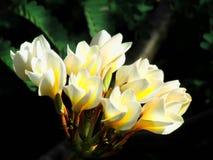 White frangipani, plumeria flowers bud, close to bloom on dark background Royalty Free Stock Photos