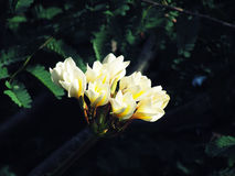 White frangipani, plumeria flowers bud,close to bloom on dark background. Stock Image