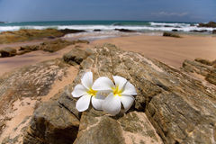 White frangipani (plumeria) spa flowers Royalty Free Stock Photography